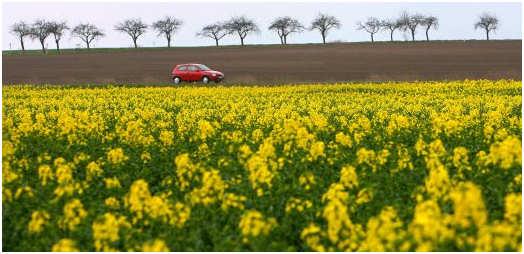 Rapsfeld: Mehr Biosprit hat negative Folgen. Quelle. http://www.spiegel.de/wissenschaft/natur/0,1518,727695,00.html
