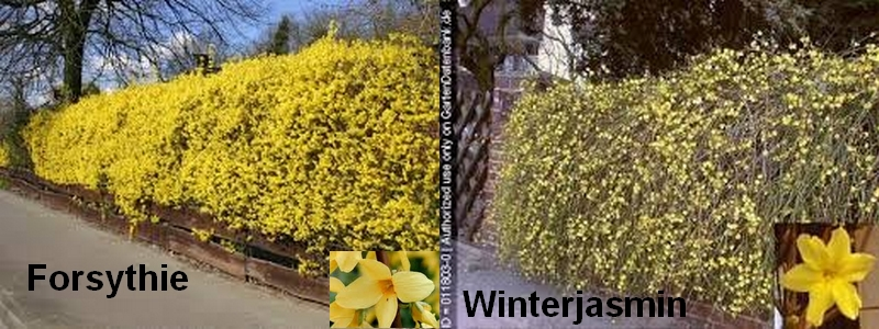 Forsythie-Winterjasmin2